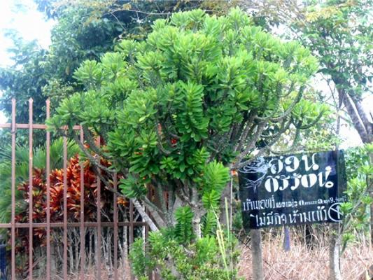 สวนสวย... จันทบุรี ที่บ่อแร่ ปลูกยางพารา ไม้กฤษณา ผลไม้หลายชนิด ติดถนนสุขุมวิท